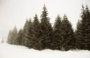 Fresh Christmas Trees in Northern Virginia area
